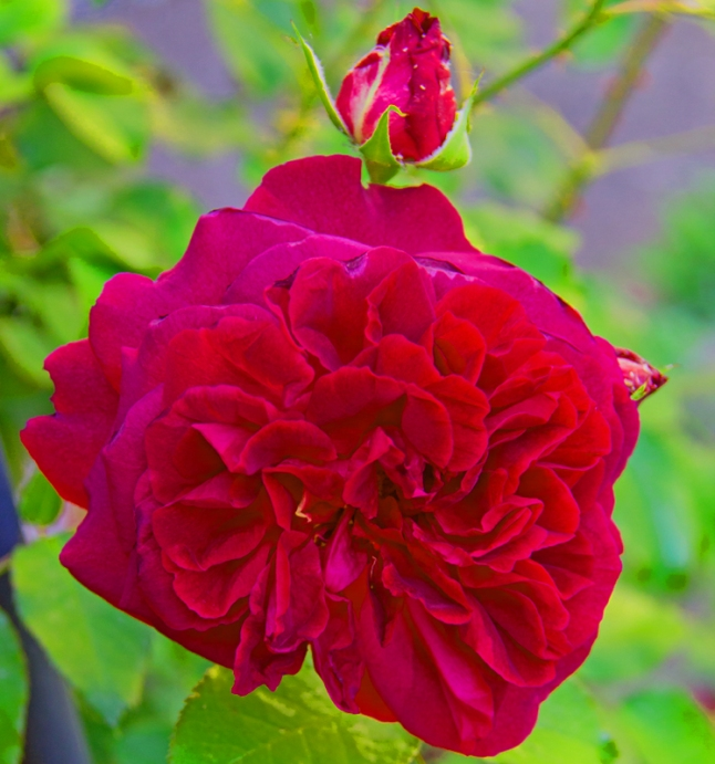 Munstead Wood - Red Rose